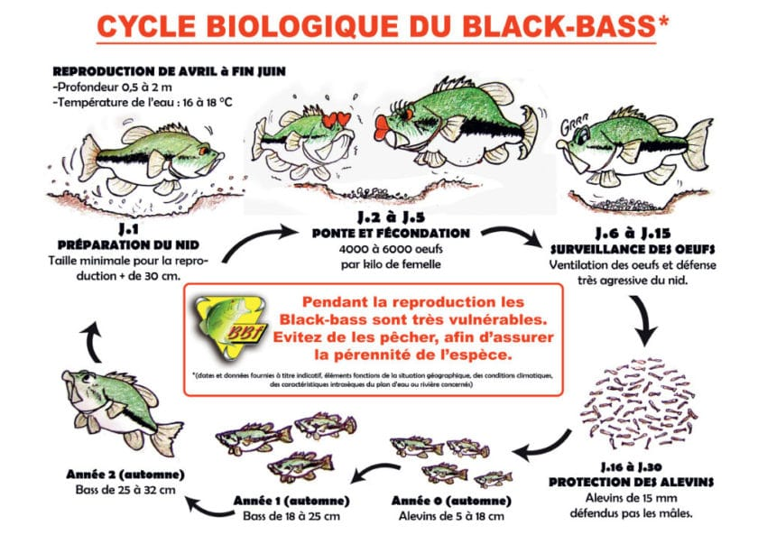 cycle-biologique-black-bass-01