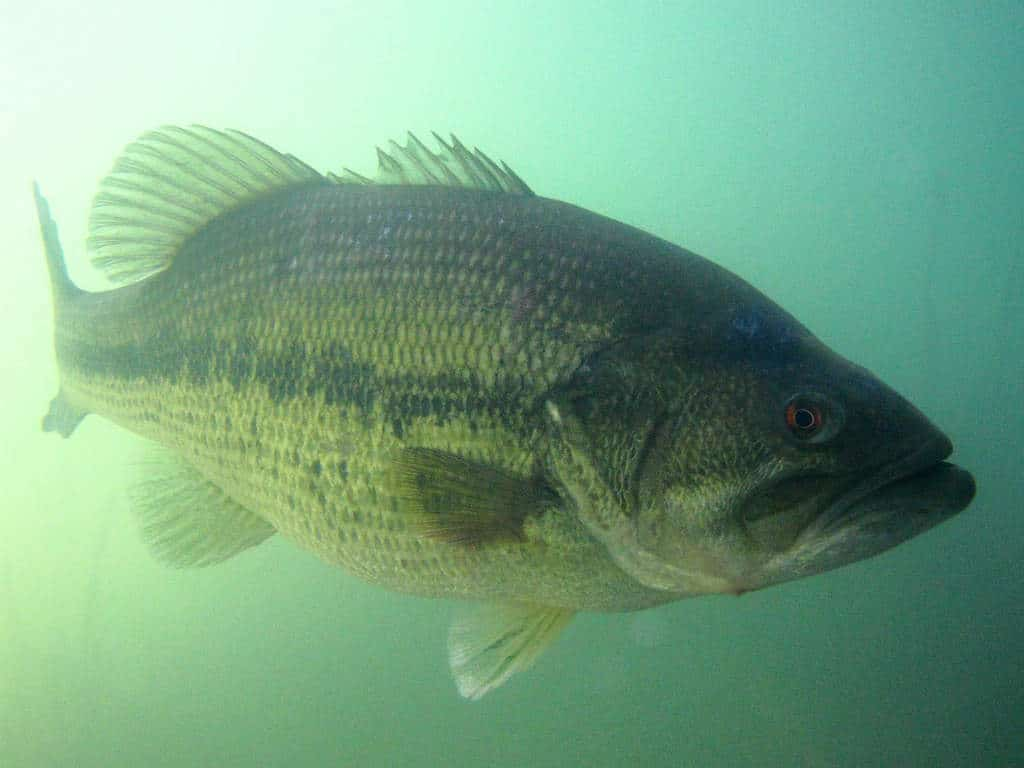 Observations du black bass un poisson d 39 exception for Mare a poisson