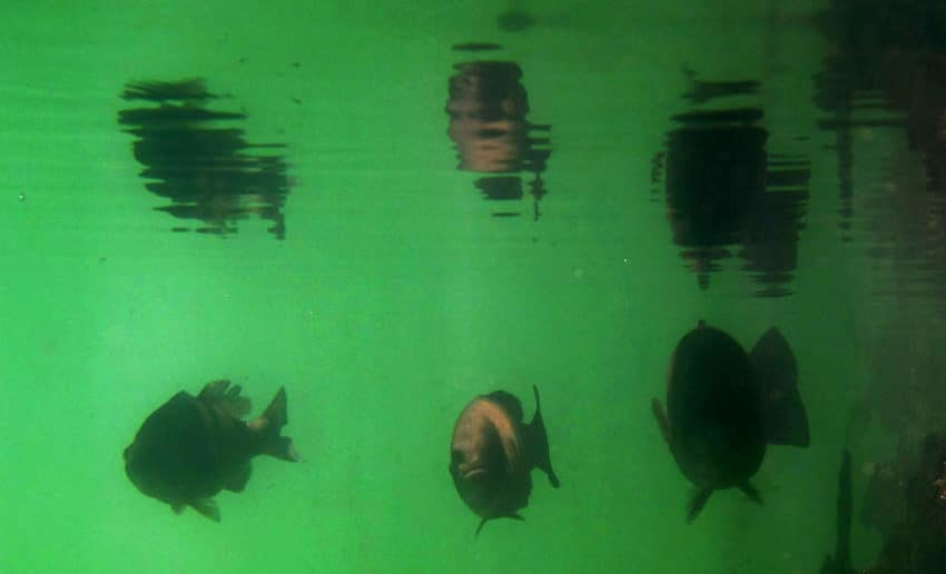 Photo Black Bass Underwater