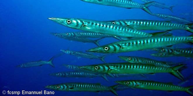 Barracuda, un poisson de mer